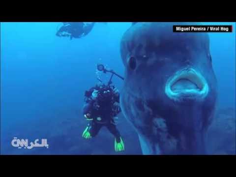 معلومات عن سمكة شمس المحيط أو المولا مولا الفريدة 2