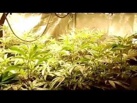 Organic soil and Cyco nutrient side by side  Day 1 week 2 flower