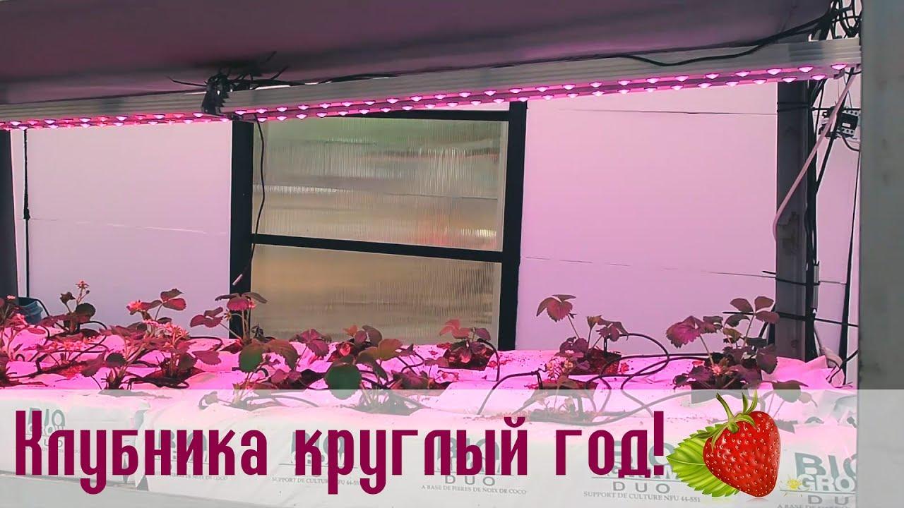 Выращивание клубники зимой под фитолампами на гидропонике и стеллажах в теплице
