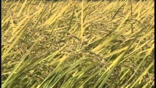 The making of Rice Harvest, Colusa County