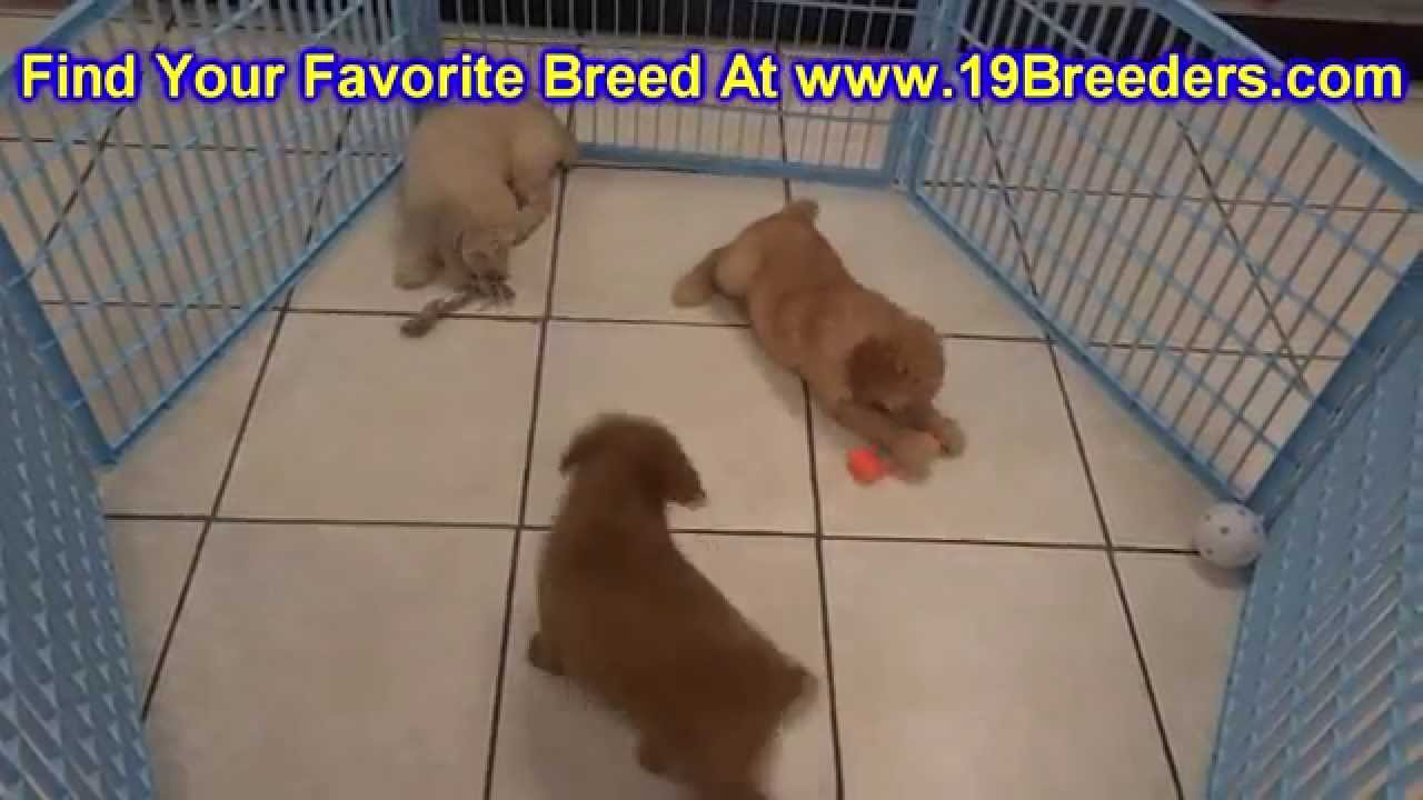 Goldendoodle, Puppies, Dogs, For Sale, In Louisville ...