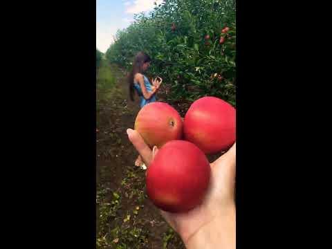 Яблоки сорт Дарья 2020