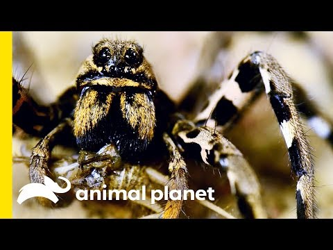 This Spider is Sparkling For a Freaky Reason | Nature's Strangest Mysteries: Solved