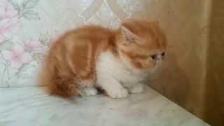 Питомник кошек Ля Рошель Рошен персов и экзотов 13