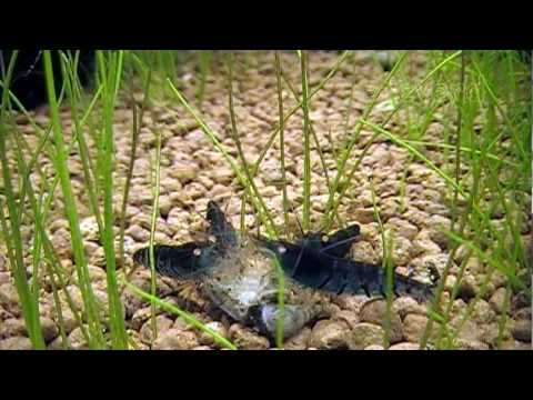 BLUE TIGER SHRIMP, freshwater dwarf shrimps at feeding time