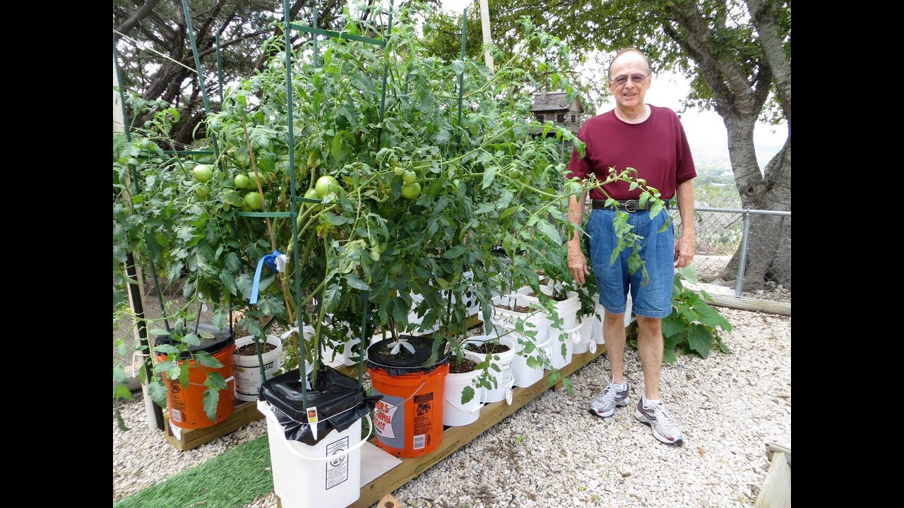 Newspaper Reports On Amazing Tomato S Grow In The Self