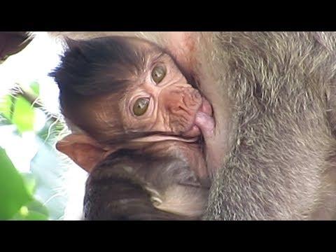 monkey breastfeeding💦my baby sika cute😍Full HD 1080p/popular daily