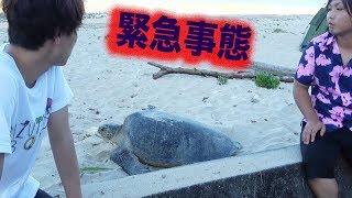迷い込んだ巨大ウミガメを助けたい thumbnail