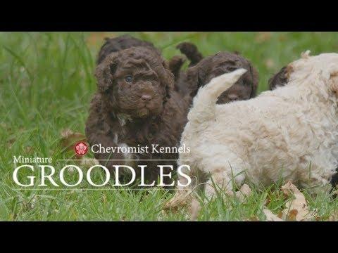 Chevromist Groodles
