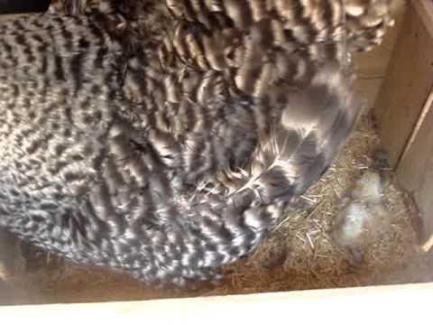 Türkiye Tavuk Yumurta ve Civciv Satışı Public Group | …