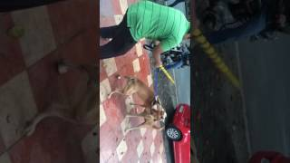 Pitbull attacks stray dog! Dog attack! Pitbull attack! Must watch!