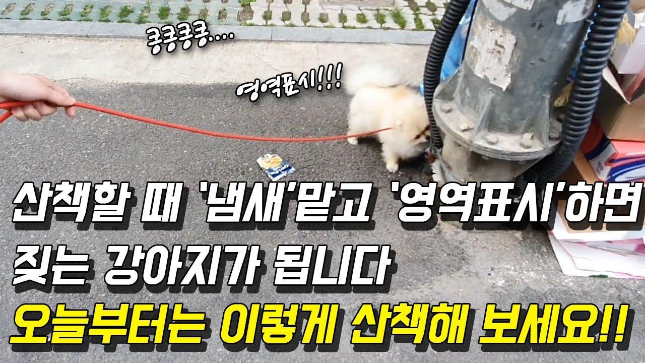 산책할 때 '냄새'맡고 '영역표시'하면 짖는 강아지가 됩니다 오늘부터는 이렇게 산책해 보세요! (Feat. 포메라니안 단테)