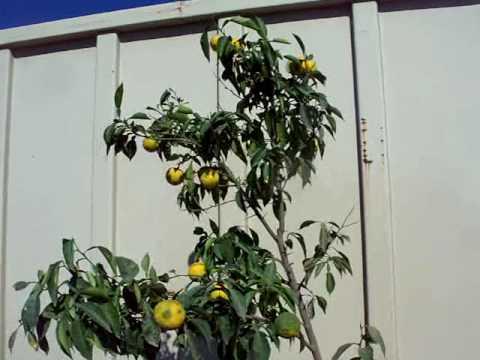 Citrus Yuzu Orange