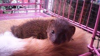 Mongoose Garangan Jawa