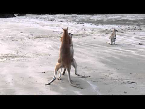 Wallaby Fight on the beach of Cape Hillsborough