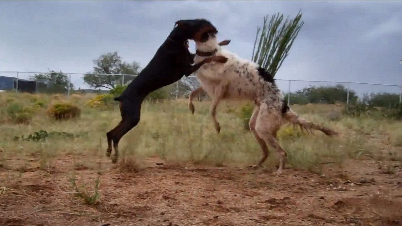 German Shepherd Vs Doberman Real Fight | www.pixshark.com ...