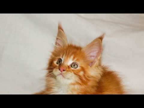 Forest Brothers Maine Coon Kittens Litter V