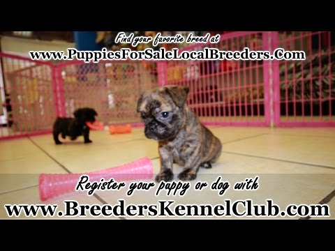 BULLSHIH PUPPIES FOR SALE IN GA LOCAL BREEDERS FRENCH BULLDOG SHIH TZU HYPOALLERGENIC