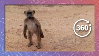A Troop of Baboons March By in 360 4K thumbnail