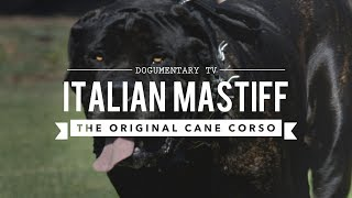 THE ORIGINAL CANE CORSO, ITALIAN MASTIFF