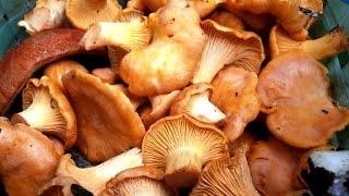 помогите распознать гриб лисичку