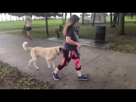 Tarzan and Jane | Anatolian Shepherds | Tampa Bay Dog Training