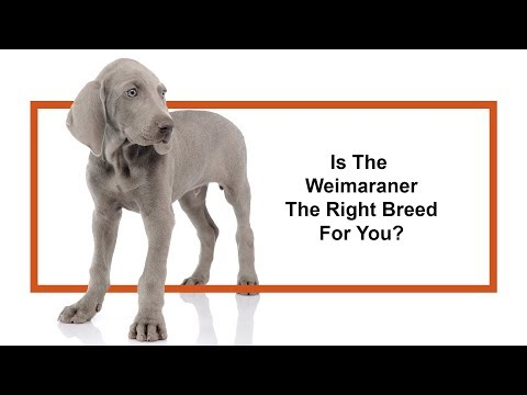 Learn all about the Weimaraner and why they could be your perfect pet!