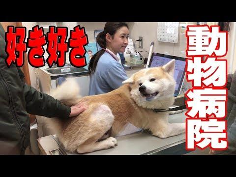 秋田犬 好き好き女医さん 動物病院ワンダフルフル♪