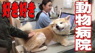 動物病院大好きな秋田犬のそうすけ君 予防接種やらアレルギー治療で良く...