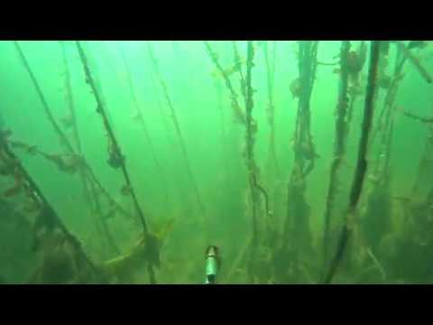 Подводная охота - поиск сома в зарослях