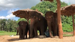 Lek sing lullaby for elephant Faamai and her family