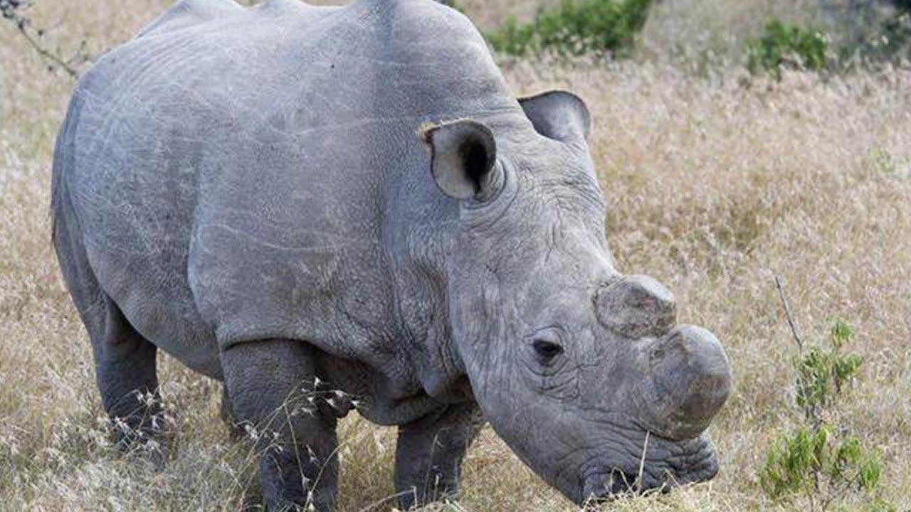 2018 Beyond the Headlines: Sudan, last northern white male rhino died in  2018
