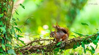 Red squirrel - Sciurus vulgaris - Écureuil roux - France లో ఎర్ర ఉడుత ఏమి చేస్తోందో మీరే చూడండి #4k