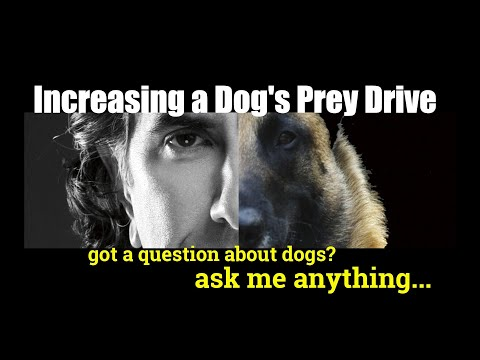 How Do You Boost a Dog's PREY DRIVE - ask me anything - Dog Training Video