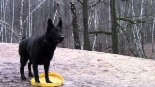 Дрессировка собак, классический условный рефлекс и схема дрессировки