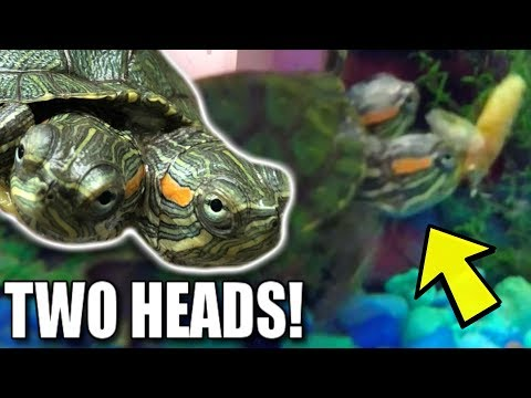 TWO HEADED TURTLE EATING!! RARE FOOTAGE!! Brian Barczyk