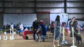 German Shorthaired Pointers - Jadefield Gsps - Joy Wins