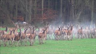 Drückjagd  Driven Hunt  Rotwild tot . Polovanie