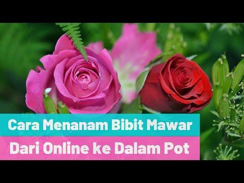 Cara Menanam Bibit Mawar Di Pot