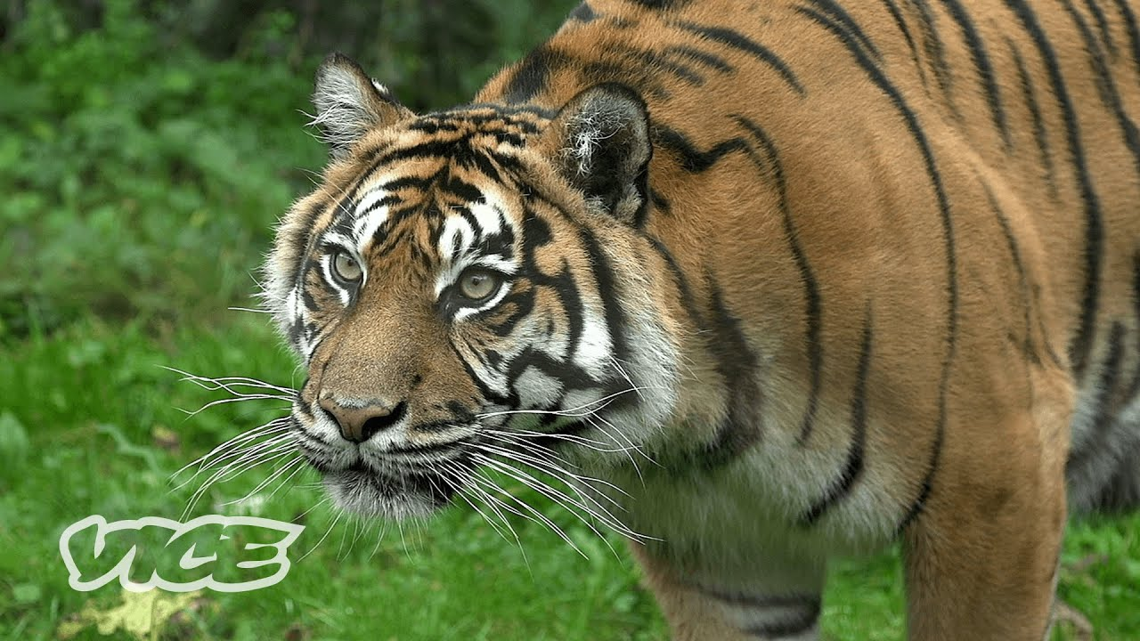 The Deadly Tigers Terrorizing Families & Farms