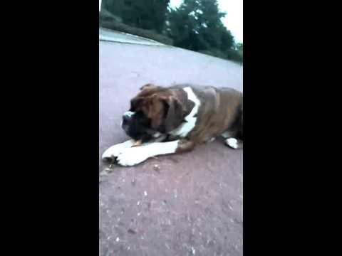 "Dog Boxer ""Enddy"""