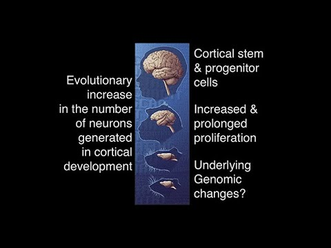 Human-Specific Genes and Neocortex Expansion in Development and Evolution