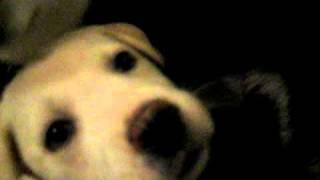 Husky/lab Mix Puppy Plays With Alaskan Klee Kai