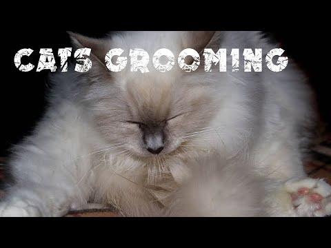Grooming your cat | Cat's diary | Awseme Birman cats