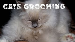 Grooming your cat | Cat's diary | Awseme Birman cats
