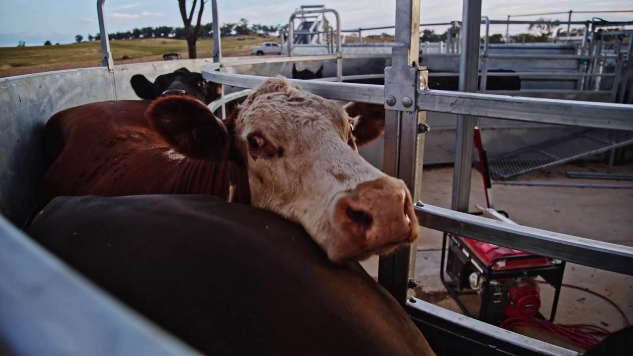 Clipex Permanent Cattle Yards - Nick Cobcroft Case Study