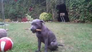 Blue Staffordshire Bull Terrier Puppy