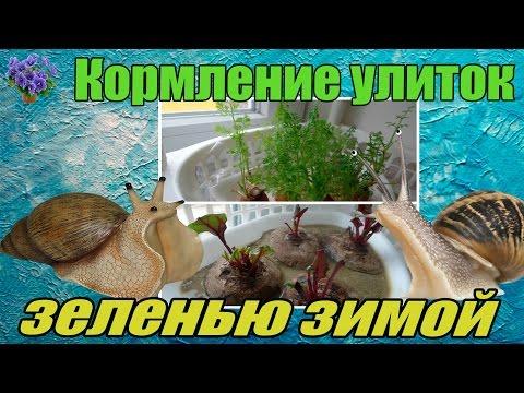Гигантская улитка ахатина (Achatina fulica). Питание зеленью из отходов овощей зимой.