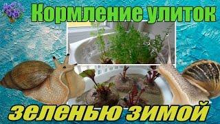 Гигантская улитка ахатина (Achatina ). Питание зеленью из отходов овощей зимой.