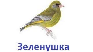 Пение птиц - Зеленушка
